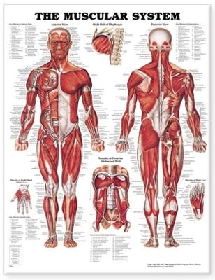 The Muscular System Anatomical Chart - pr_99376